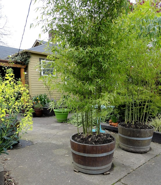 Use Wine Barrels Planters for a Tall Grass Wall